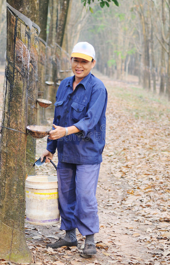 Gente que trabaja en la plantación del árbol de goma en Yenbai, Vietnam foto de archivo libre de regalías