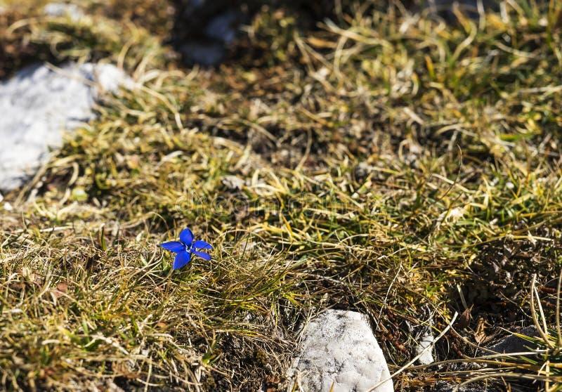 Gentiaanbloem het groeien op een berg stock afbeelding