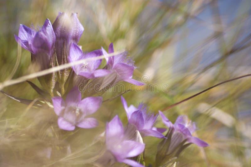 Gentian flowers. Sunny gentian flowers at Untersberg, Austria stock photos
