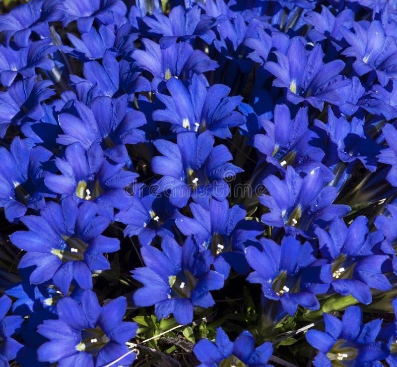Gentiana alpina стоковая фотография rf