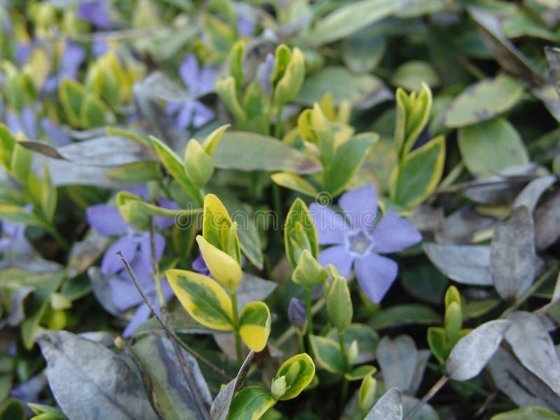 Gentiana gentiaan van de asclepiadeawilg is species van bloeiende installatie van de Gentiana soort stock foto