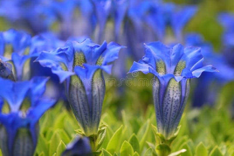 Gentiane bleue photo libre de droits