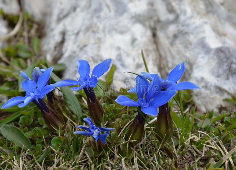 Gentiane bleue en nature photo libre de droits