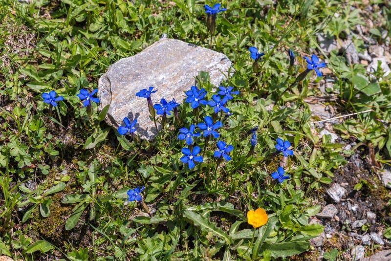 Gentiane de ressort sur un pré de fleur dans les Alpes, Autriche photo stock