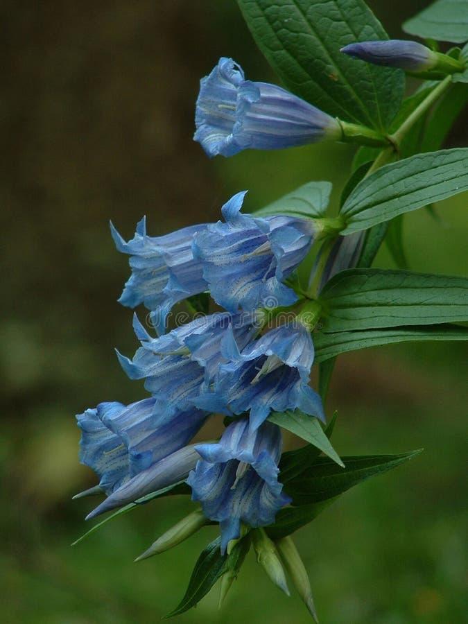 Gentiane fleurissante de saule photo stock