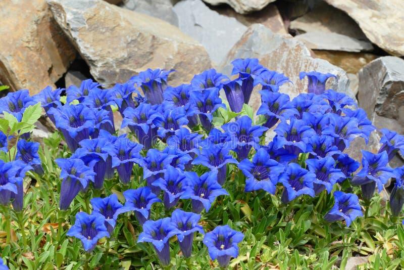 Gentianes bleues image stock