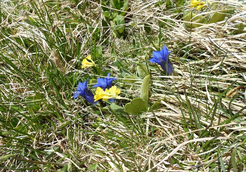 Gentianes bleues et jaunes, fleurs photographie stock libre de droits
