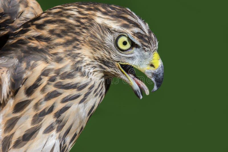 Gentilis septentrionales del Accipiter del azor imagenes de archivo