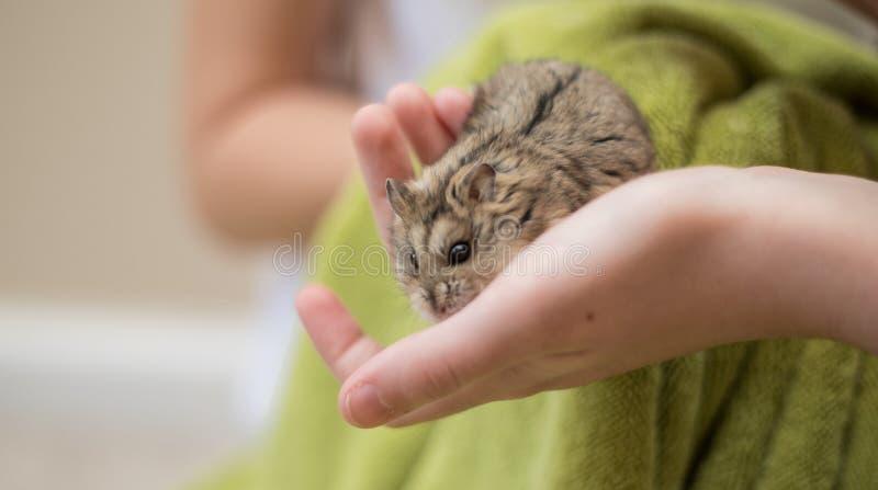 Gentillesse de hamster dans mains de childs photo libre de droits