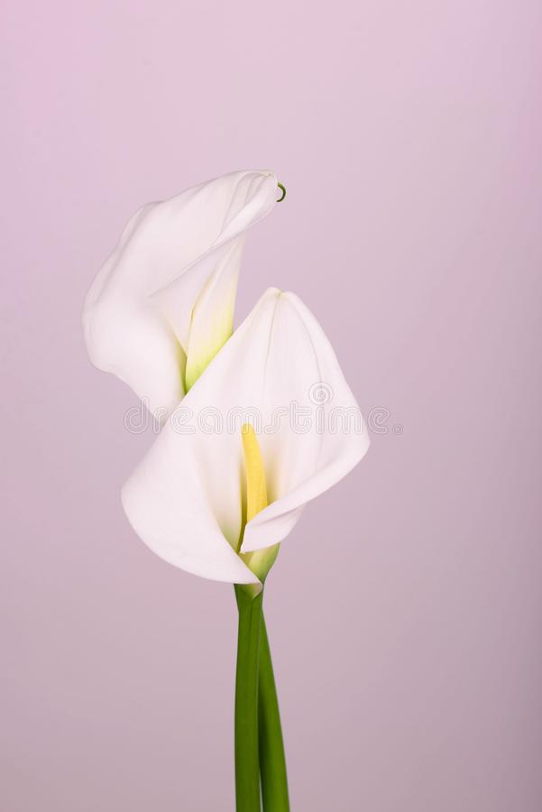 Gentle beautiful white callas on a light pink background. Beautiful white callas on a pink background. Beautiful flowers, a place for an inscription stock photos