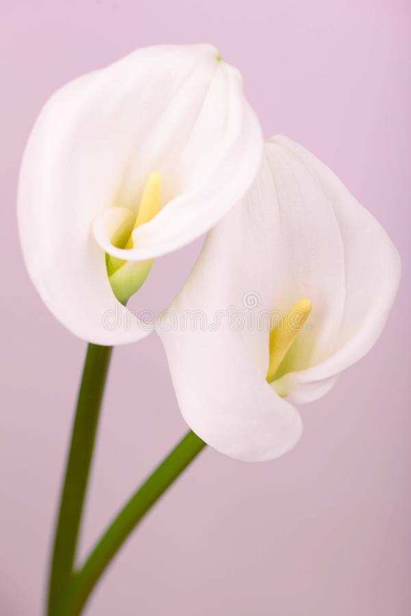 Gentle beautiful white callas on a light pink background. Beautiful white callas on a pink background. Beautiful flowers, a place for an inscription royalty free stock photo