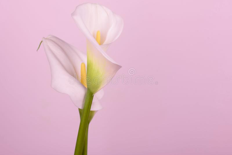 Gentle beautiful white callas on a light pink background. Beautiful white callas on a pink background. Beautiful flowers, a place for an inscription royalty free stock images