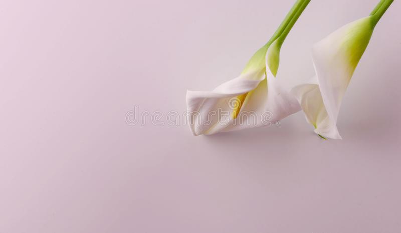 Gentle beautiful white callas on a light pink background. Beautiful white callas on a pink background. Beautiful flowers, a place for an inscription stock photo