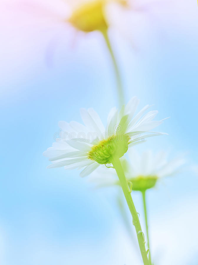Download Gentle daisy flowers stock image. Image of head, daisies - 37374189