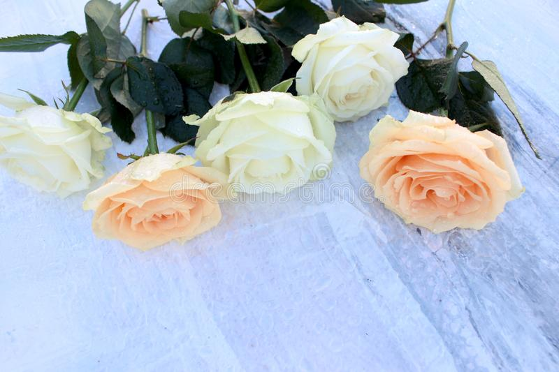 Gentle fresh cream-colored roses on gray abstract background royalty free stock photos