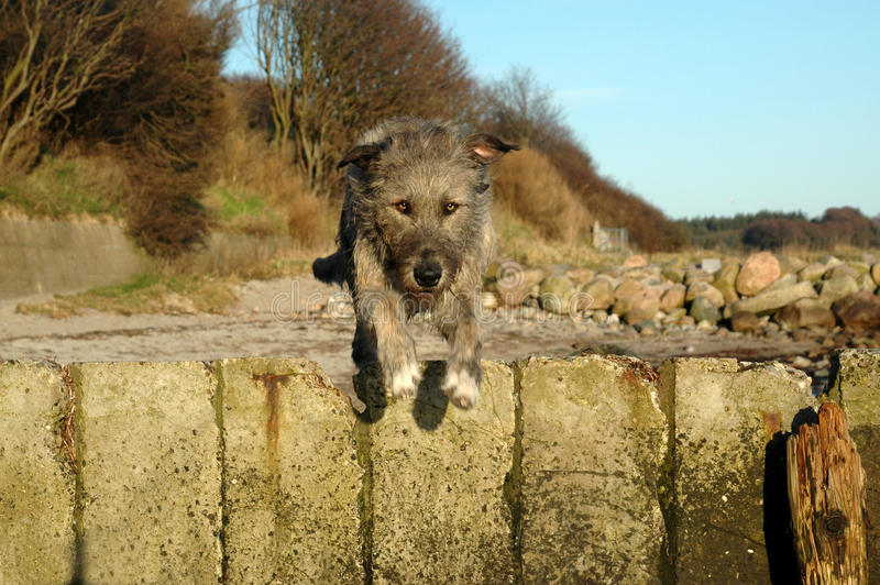 Gentle Giant Jumps. Large irish wolfhound seen at high speed, on the fly over a barrier royalty free stock photos