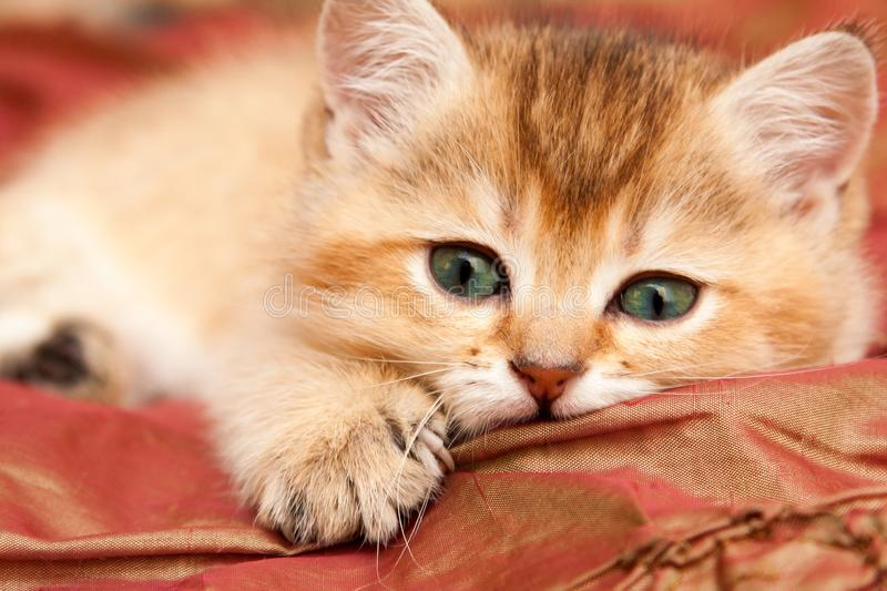 Gentle Golden British kitten resting lying on the bed royalty free stock photo