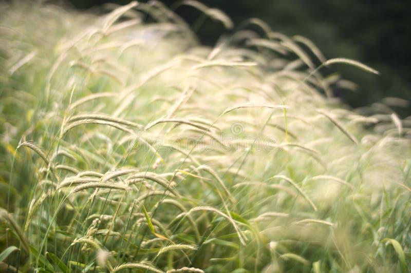 Gentle grasses royalty free stock photo