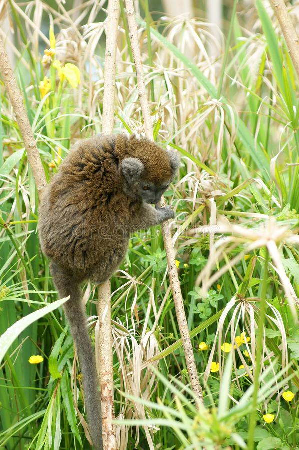 Gentle Lemur in grasses