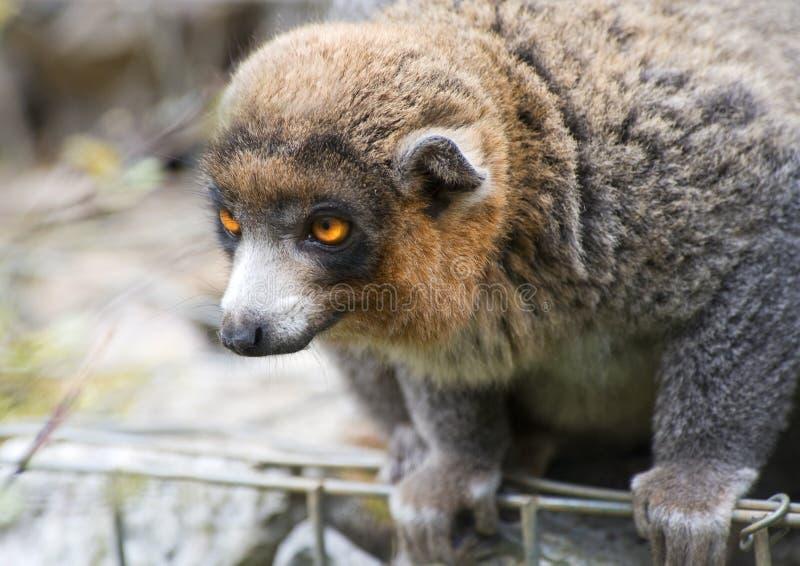 Gentle Lemuren Arkivbild