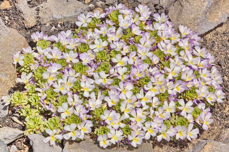 Gentle lilac groundcover viola growing in the Andes. Gentle lilac groundcover viola lit by the sun growing in the Andes stock image