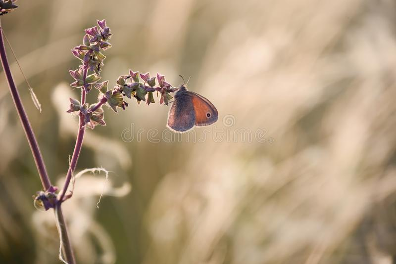 A gentle little bluebird butterfly on sage flowers in a meadow. stock image