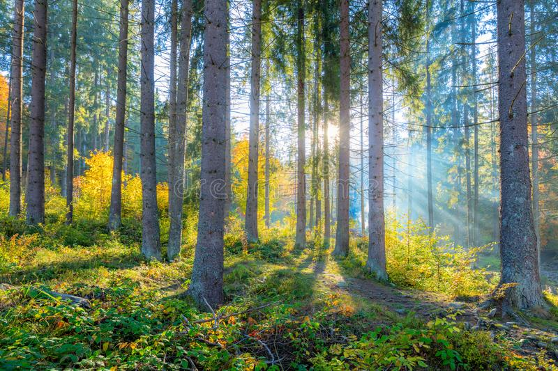 Gentle morning scene in the forest with sun rays and long shadows stock image