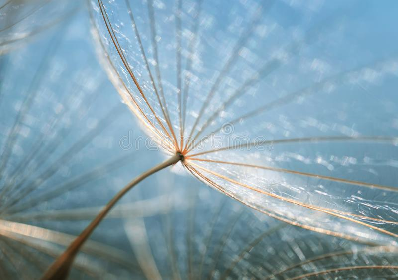 Gentle natural backdrop of the fluffy seeds of the dandelion flo royalty free stock photo