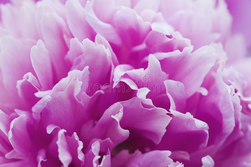 Download Gentle petals stock photo. Image of freshness, ornate - 28220316