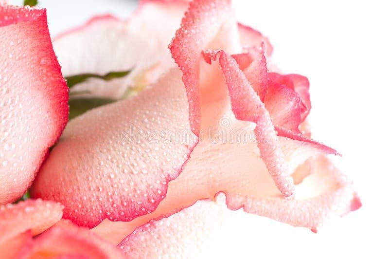 Gentle petals of roses