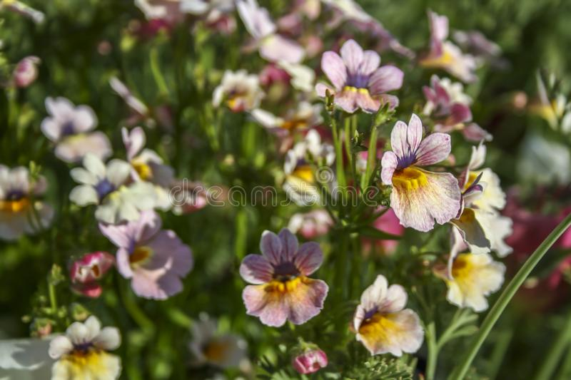 Gentle pink flowers resembling a woman`s shoe. Selective focus, suitable for background. royalty free stock image