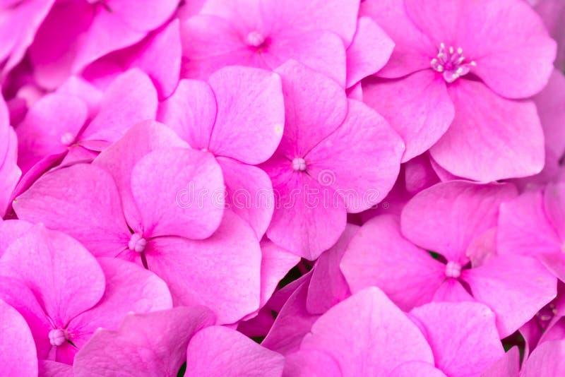 Gentle pink hydrangea Hydrangea macrophylla. Flower close-up. Background of flowers. stock image