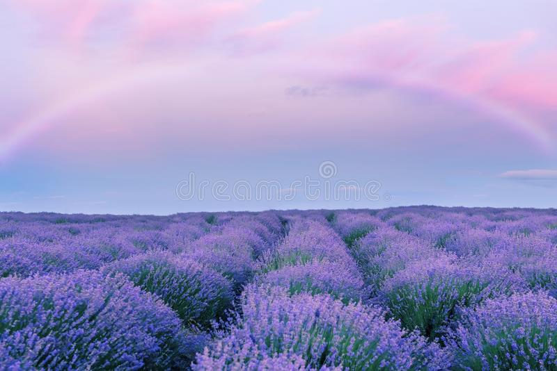 A gentle pink sunset in a lavender field and a fairy rainbow. Fantasy. Flowering of lavender. stock photography