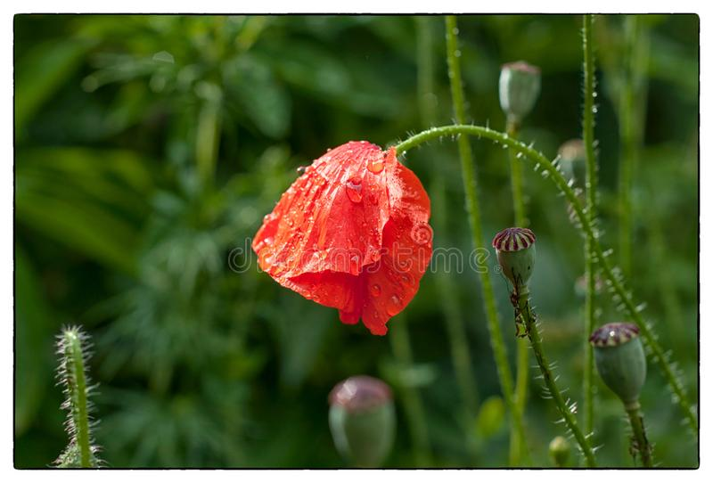 Gentle poppy in the morning dew drops. Beautiful floral landscape royalty free stock images