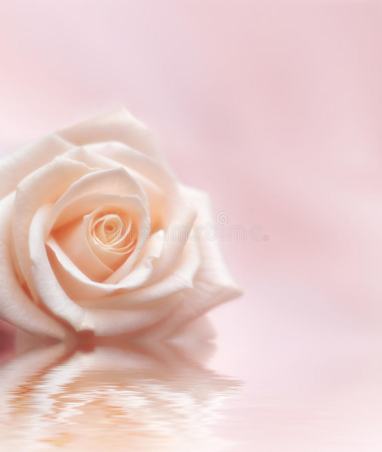 Rose On Light Pink Background Stock Photo - Image of gift ...
