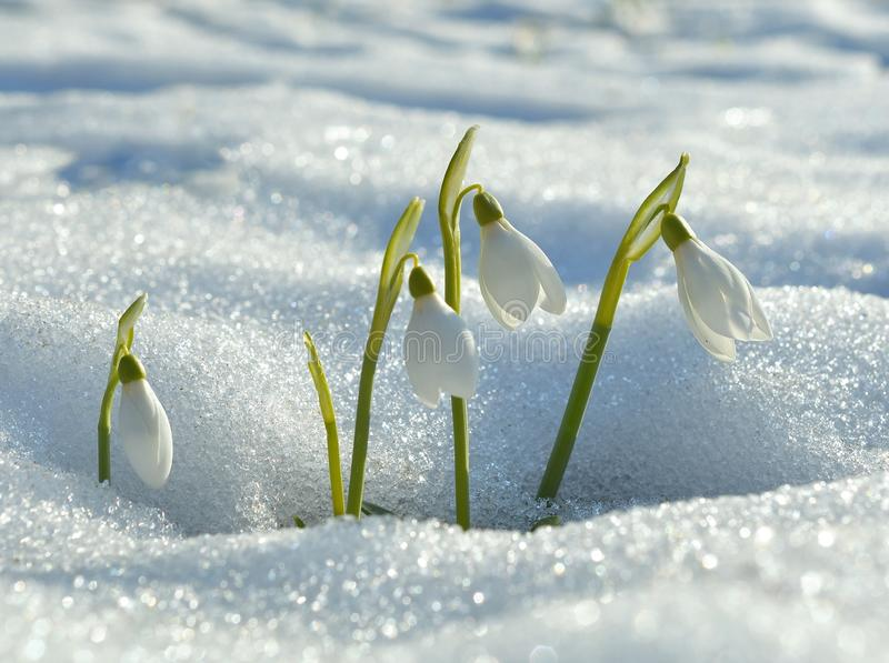 Gentle snowdrops royalty free stock image