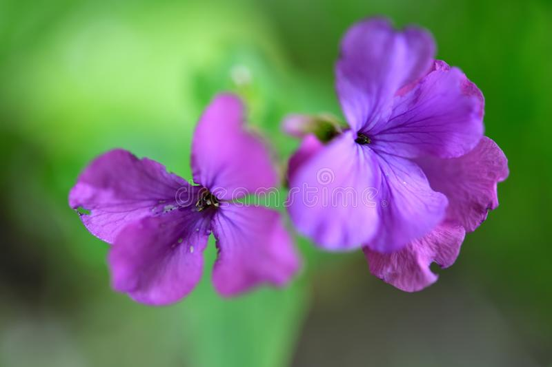 Gentle soft purple flowers of the Satin flower. Delicate nerves. A soft shaded green background. Overijssel, Goor stock photo