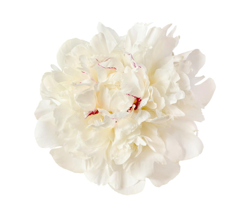 Download The gentle white peony stock photo. Image of growth, peony - 37776980