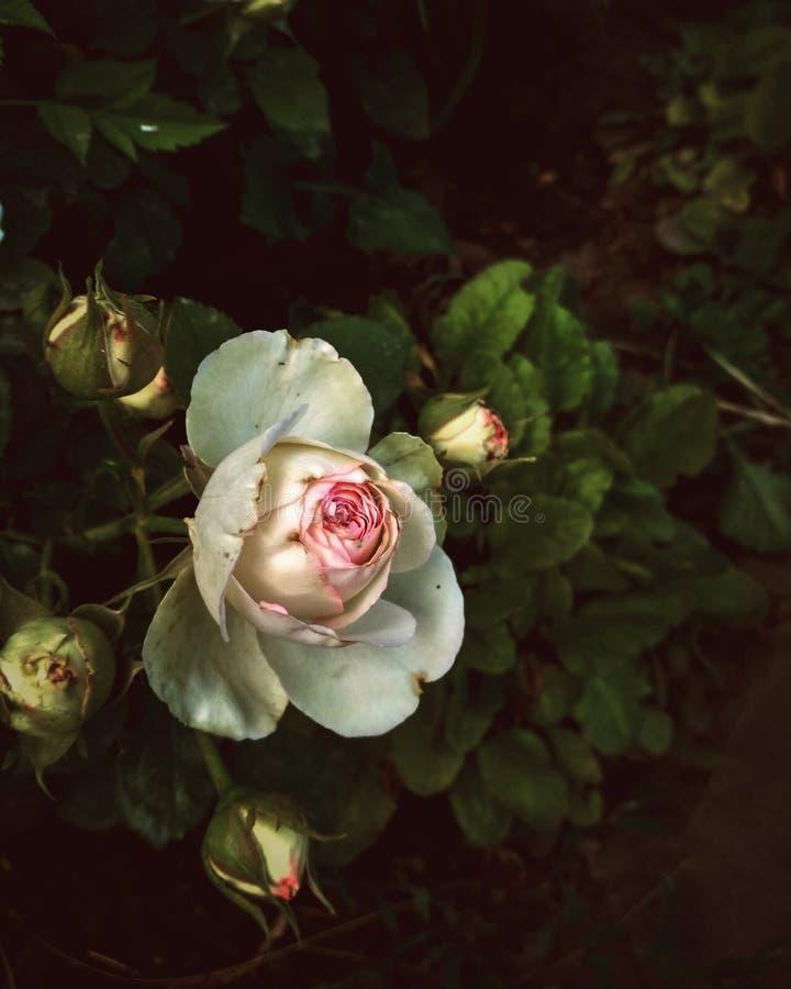 Gentle white rose royalty free stock image