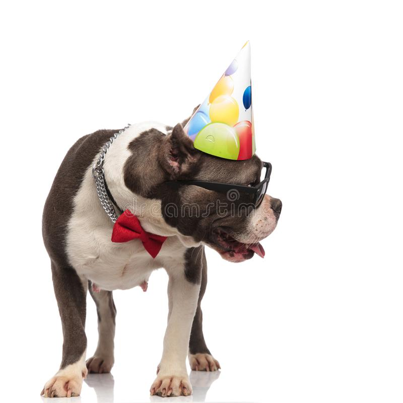 Gentleman american bully wearing birthday hat looks to side. Gentleman american bully wearing birthday hat and sunglasses looks to side while standing on white stock images
