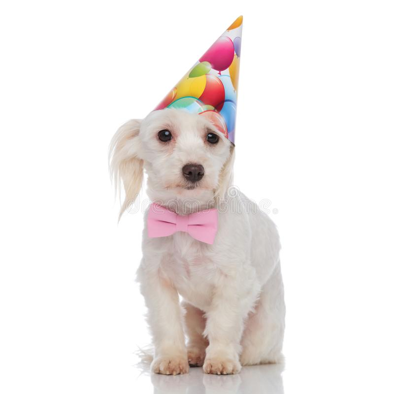 Gentleman bichon with birthday hat stands. On white background and looks to side stock photography