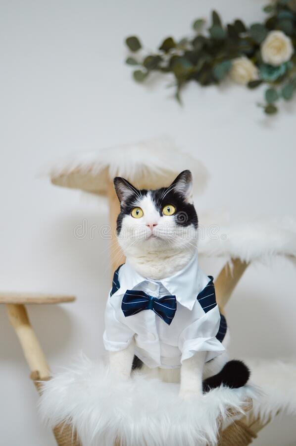 Gentleman cow cat stand for taking photos. Gentleman cow cat stands for taking photos stock image