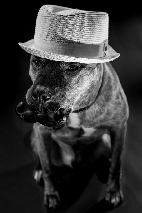 Gentleman Dog with Mustache and Hat. My dog is a true gentleman. He patiently posed for me with his new squeak chew toy. Isn`t he handsome stock photography