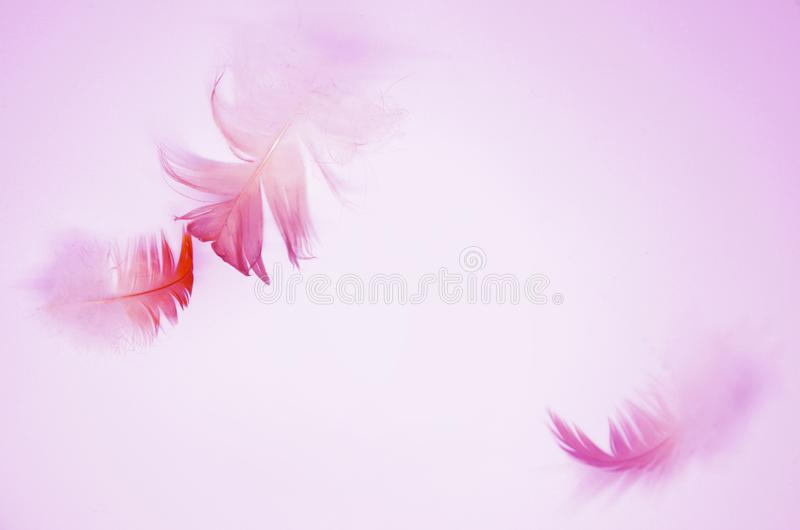 Pink background with soft flying feathers stock image