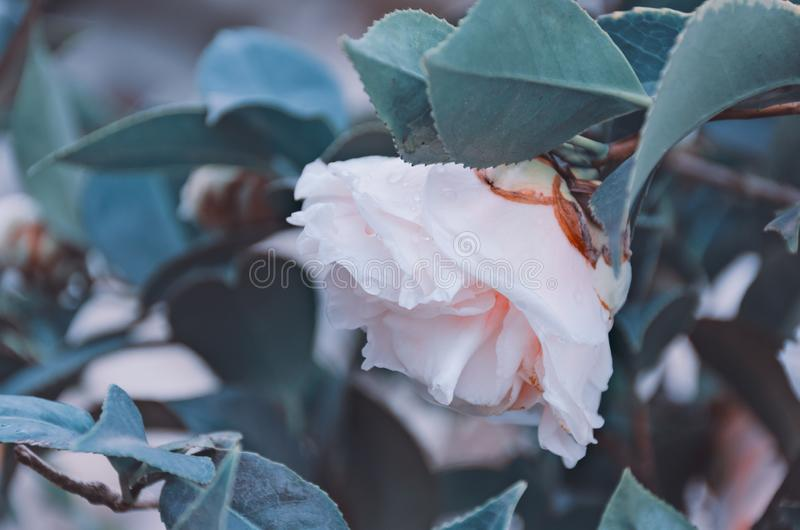 Gently pink rose with raindrops among the leaves. Flowers after the rain, natural background, soft selective focus. stock photography
