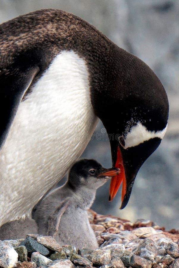 Gentoo企鹅哺养的小鸡 免版税库存图片