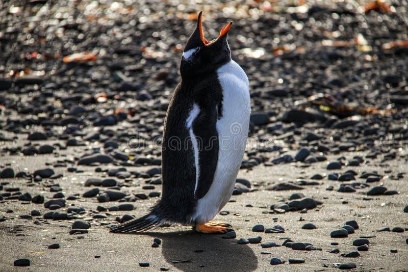Gentoo企鹅,南设得兰群岛,南极洲 免版税库存照片