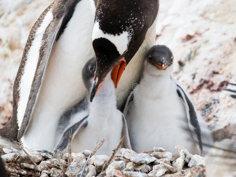 Gentoo企鹅, Pygoscelis巴布亚,母亲哺养的小鸡, Antarcti 图库摄影