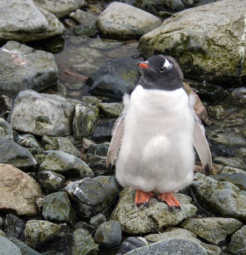 Gentoo在彼得曼海岛,南极洲上的企鹅小鸡 免版税库存照片