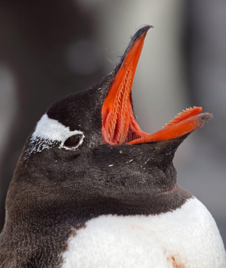 Download Gentoo της Ανταρκτικής Penguin που χ&alph Στοκ Εικόνες - εικόνα από παγωμένος, κρύο: 13188552